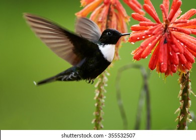 Black and white with dark green back  hummingbird Collared Inca Coeligena torquata isolated, feeding from intensive orange Aloe Vera flower with raindrops. Distant blurred green background.