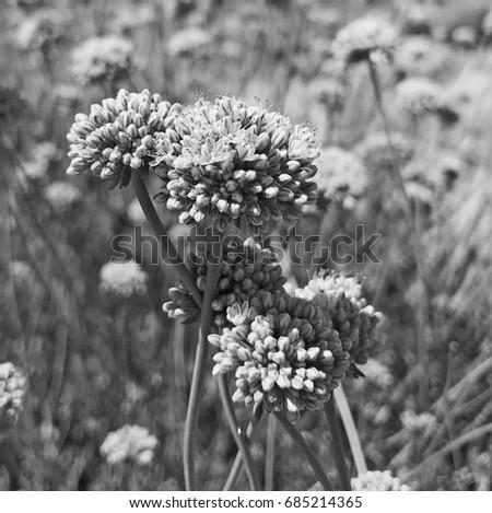 Black White Desert Flowers Stock Photo Edit Now 685214365