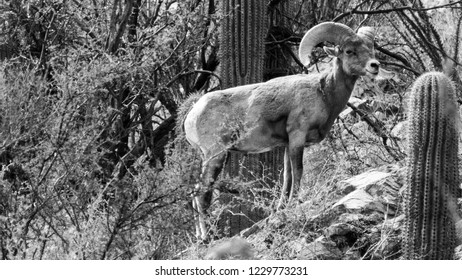 Black and white detail of a Bighorn Sheep Ram in the Sonoran Desert standing on a rock surrounded by saguaro cactus, ocotillo and more. Pima County, Tucson, Arizona. 2018.
