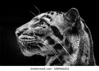 Black and white detail of clouded leopard