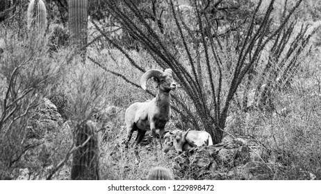 Black and white detail of a male Bighorn Sheep or Ram watching over a sleeping female ewe, his mate. Sonoran Desert north of Tucson, Arizona in the Catalina Mountains. Saguaro cactus, ocotillo. 2018.