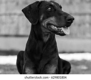 Black and White Doberman