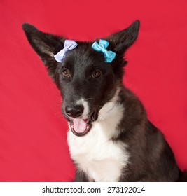 Black and white dog with blue ribbons lying on red background