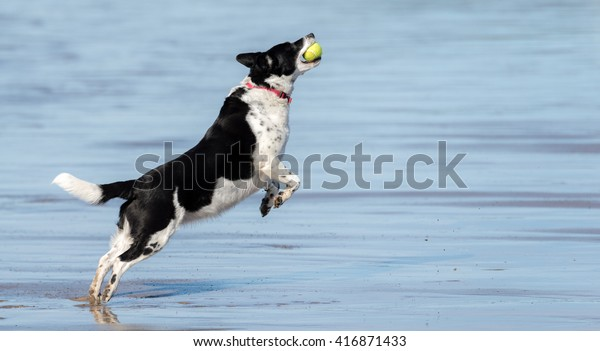 Black White Dog Catching Tennis Ball Stock Photo Edit Now