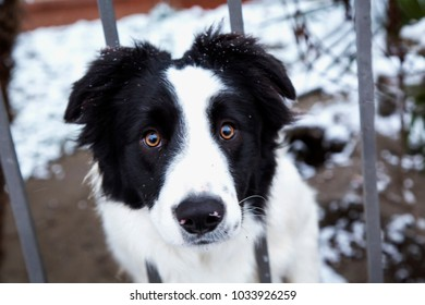 Black and white dog with head between bars, horizontal image