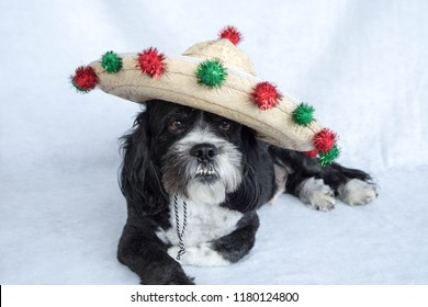 Black and white dog laying down wearing a sombrero tilted to the side decorated with green and red balls for Cinco de Mayo or Christmas.