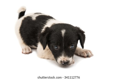 black and white dog on a white background