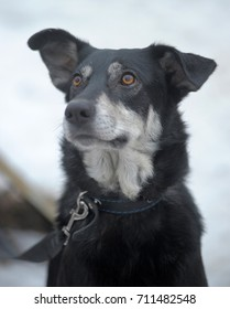 Black with white dog pooch on a leash in winter