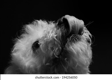 black and white dog portrait on black background