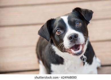 Black and White Dog Smiling