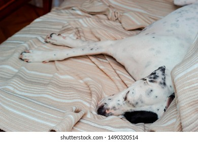 Black and white domestic Pointer mixed with Dalmatian dog sleeping at home on couch
