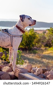Black and white domestic Pointer mixed with Dalmatian dog wearing harness and collar stand outdoor looking at mountain landscape