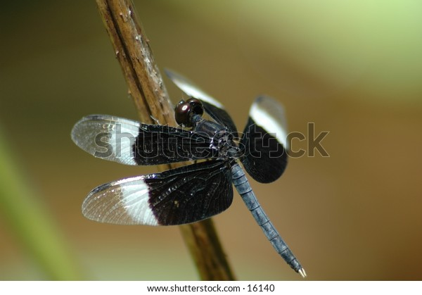 Black and white dragonfly.