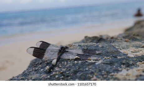 Black and white dragonfly on a rock near the sea - Cozumel, Mexico