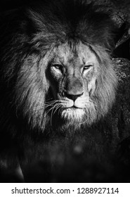 Black and white dramatic Portrait of a beautiful and majestic lion looking into the camera