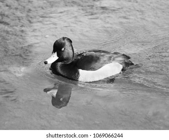 a black and white duck in black and white