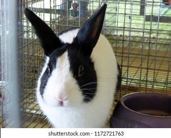 Black and white Dutch hare rabbit in a county fair cage