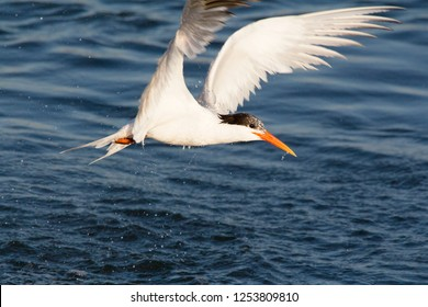 Black and white Elegant Tern flying over the water, in Orange County California.  Coast, bay, beaches habitat.  Flies over water. Plunge-dives to catch prey. Breeds in colonies.
