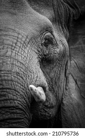 Black and white elephant portrait, South Africa