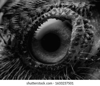Black and White eye of a Crow