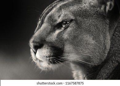 Black and white face Cougar. Cougar (Puma concolor), also commonly known as the mountain lion, puma, panther, or catamount. is the greatest of any large wild terrestrial mammal.