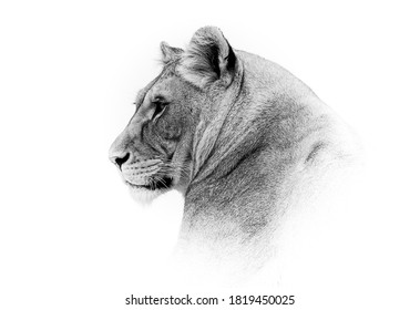 Black and white face of a lioness.