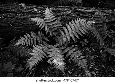 Black and white ferns, inspired by Ansel Adams