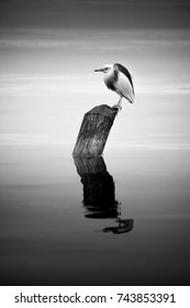 Black and white fine art image of little egret perch on bamboo in the Kintamani lake, Bali Indonesia.