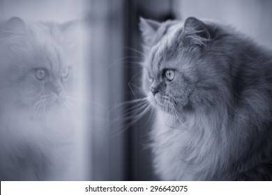 Black and white fluffy persian cat looking through the window