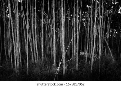 Black and white forest with hidden Tasmanian Tiger. The extinct Thylacine