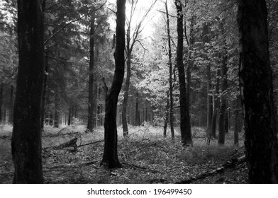 Black and white forest with partially dead trees.