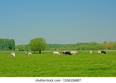 Black and white free-range cows grazing in a meadow surrounded by trees in a Dutch polder on a sunny day with clear ble sky