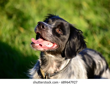Black and White French Brittany Spaniel
