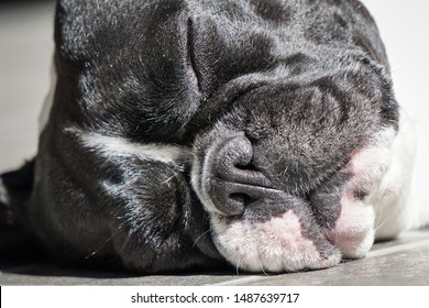 Black and white french bulldog close up sleeping