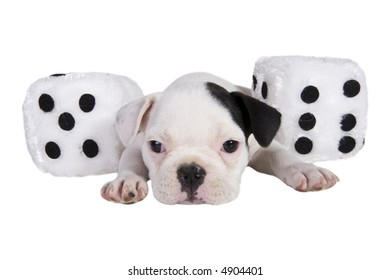 Black and white French bulldog puppy with a pair of black and white fuzzy dice,isolated on white