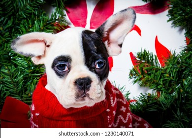 Black and White French Bulldog Wearing a Red Christmas Sweater in front of a Wreath and Poinsettia Background