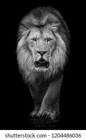 Black and White Frontal Portrait of an African Lion