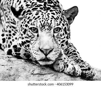 A Black and White Frontal Portrait of a Jaguar