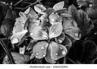 Black and White Geraniums With Raindrops