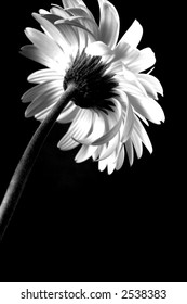 Black and white gerbera daisy from the rear