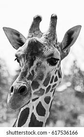 Black and white giraffe portrait of head