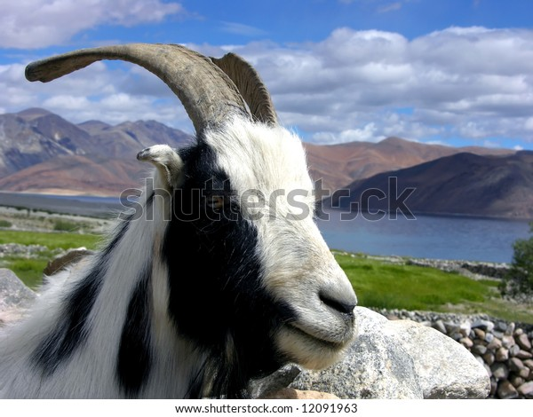 black and white goat in himalaya