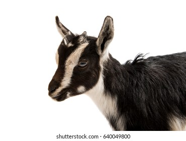 Black and white goat on white background