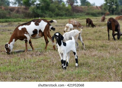 Black and white goat,standing at the cornfield ,among other goats