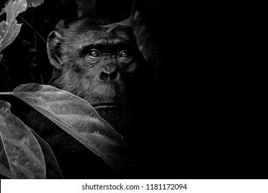 Black and White Gorilla hide and look straight behind tree on black background