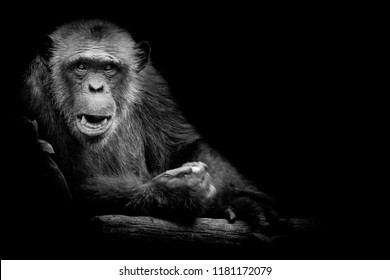 Black and White Gorilla looking straight at camera on black background.