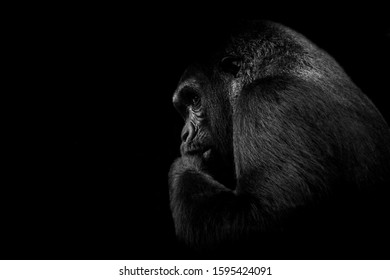 Black and white Gorilla portrait
