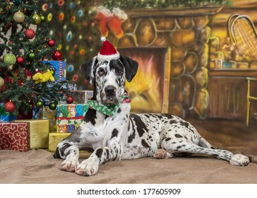 A black and white Great Dane dog wearing a Santa hat lies in front of a Christmas tree and fireplace