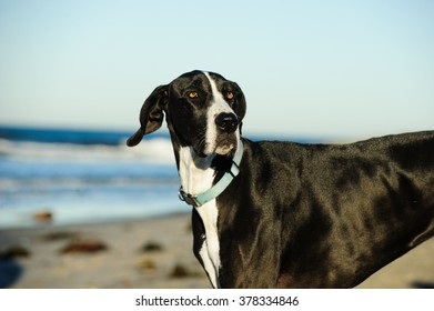Black and white Great Dane at the ocean beach