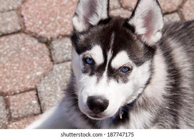 Black White and Grey Siberian Husky Puppy